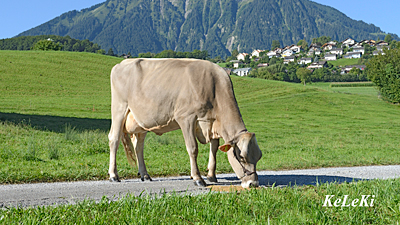 Brown Swiss cow Belinda. Photo: KeLeKi